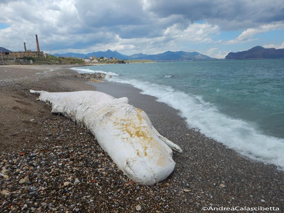 Tre capodogli morti in tre spiagge del Palermitano, l'allarm
