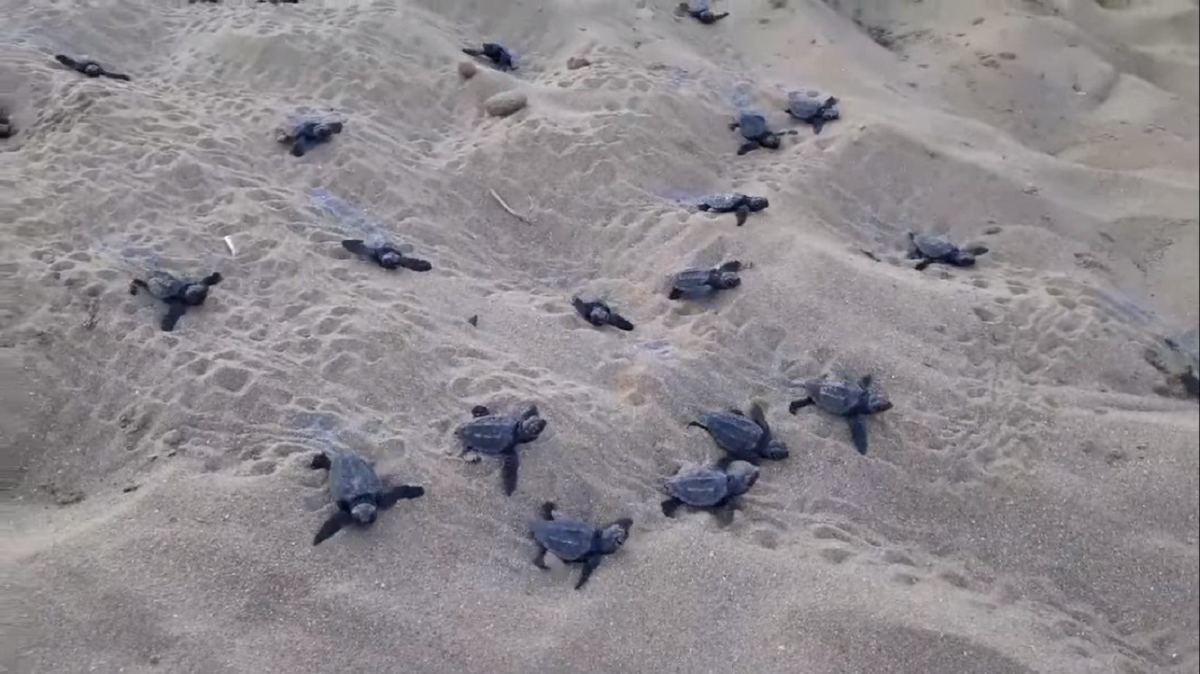 Oltre 100 piccole tartarughe Caretta Carretta sbucano dalla